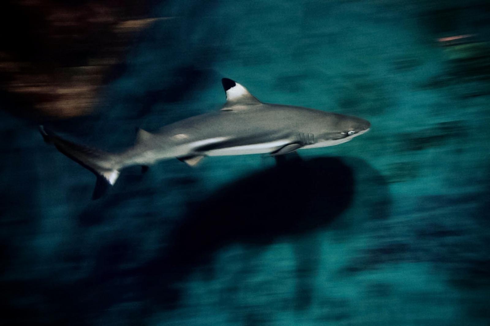 Reef Shark Italy