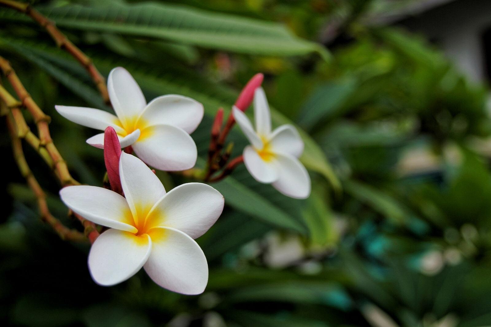 Plumeria Flower Pattaya Thailand