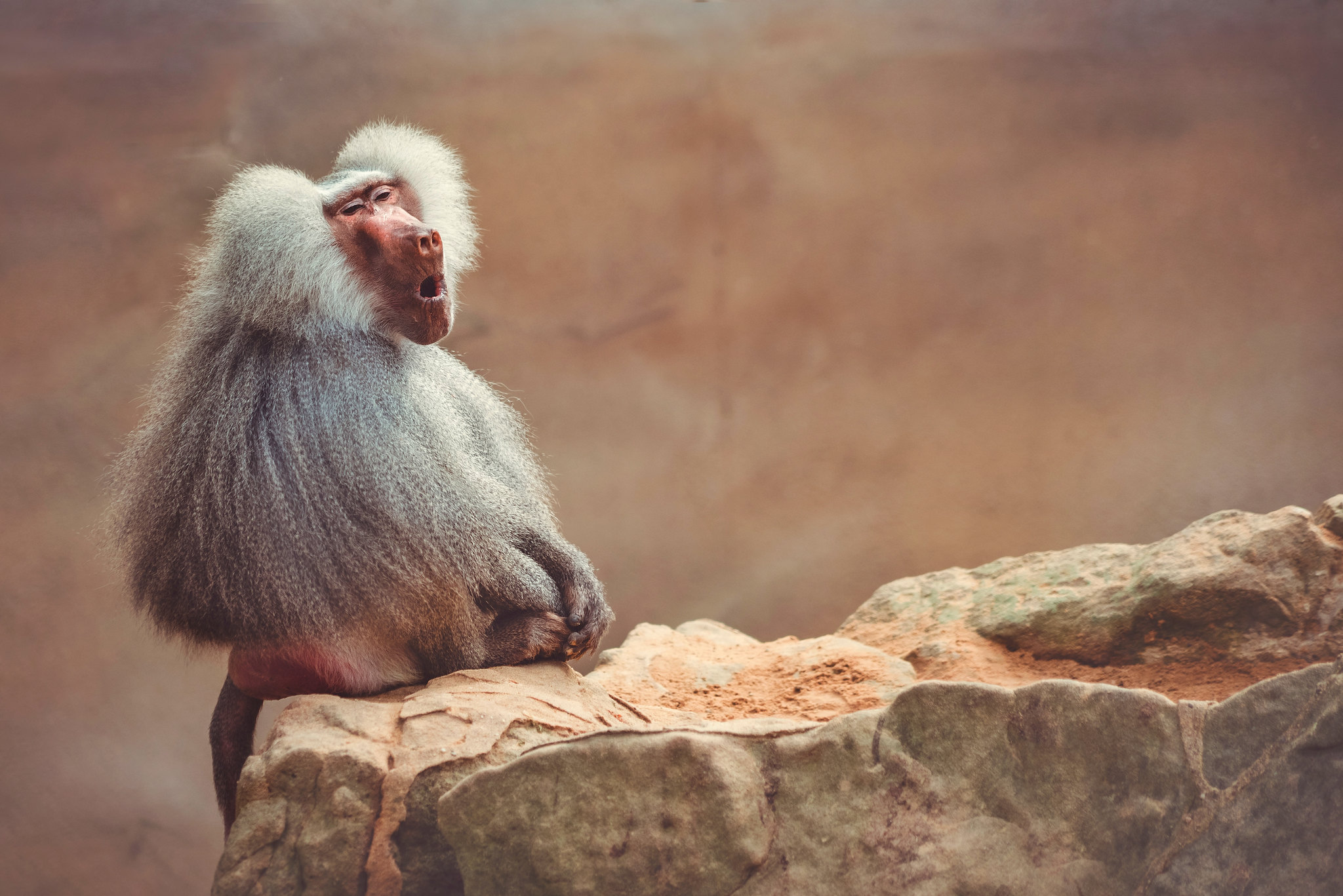 Hamadryas Baboon of Berlin Zoo